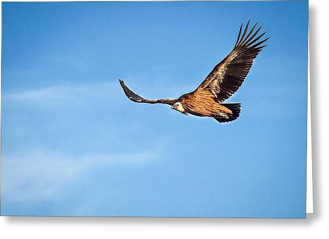 Greeting Card featuring the photograph Griffon Vulture by Meir Ezrachi
