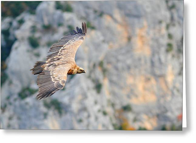 Griffon Vulture Greeting Card by Richard Patmore