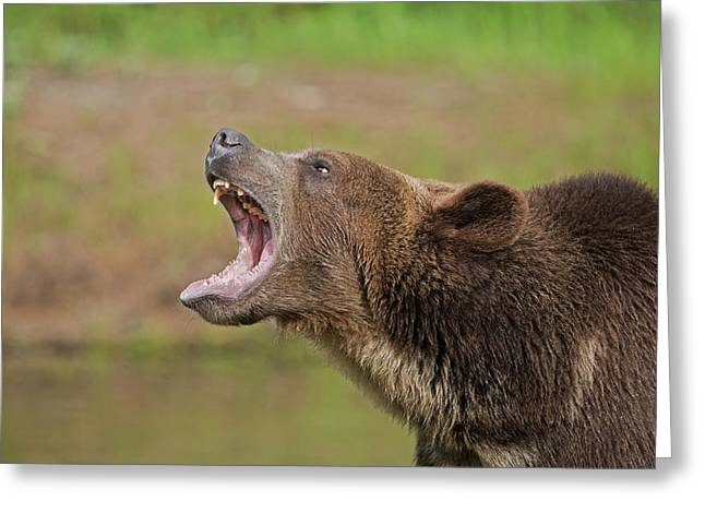 Grizzly Bear Growl Greeting Card