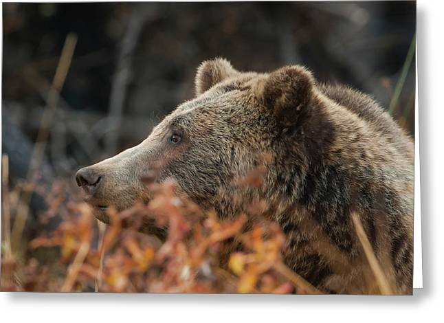 Grizzly Bear Portrait In Fall Greeting Card