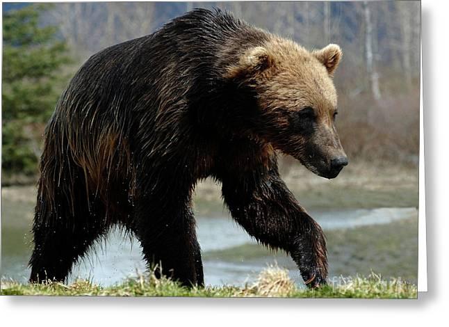 Grizzly Bear Seward Alaska 2 Greeting Card by Bob Christopher