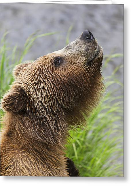 Grizzly Bear Sniffing Air While Fishing Greeting Card by Lucas Payne