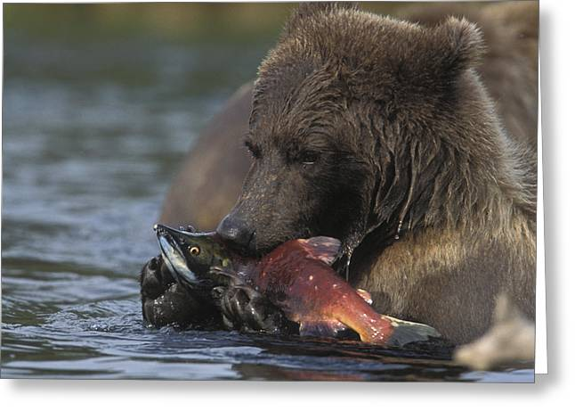 Grizzly Bear With A Salmon Greeting Card by Tim Grams