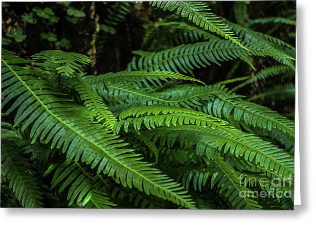 Grizzly Creek Redwoods Ferns Greeting Card by Blake Webster