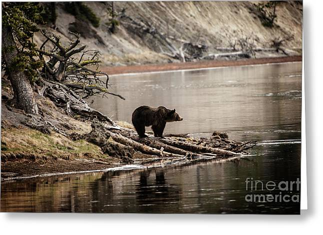 Grizzly In Yellowstone Greeting Card