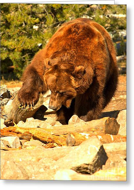 Grizzly Scavenging Greeting Card by Adam Jewell