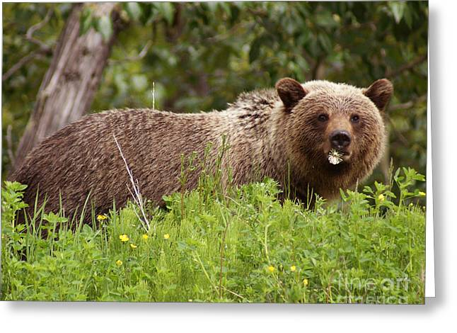 Grizzly With A Dandelion Greeting Card by Stanza Widen