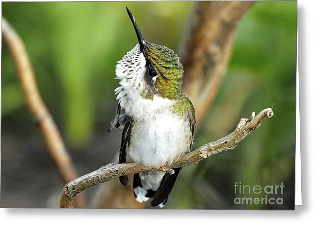 Grooming Hummer Greeting Card by Cindy Treger