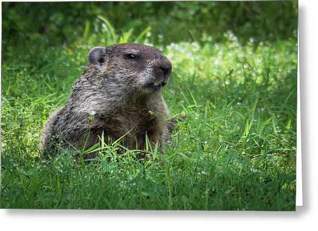 Groundhog Posing  Greeting Card