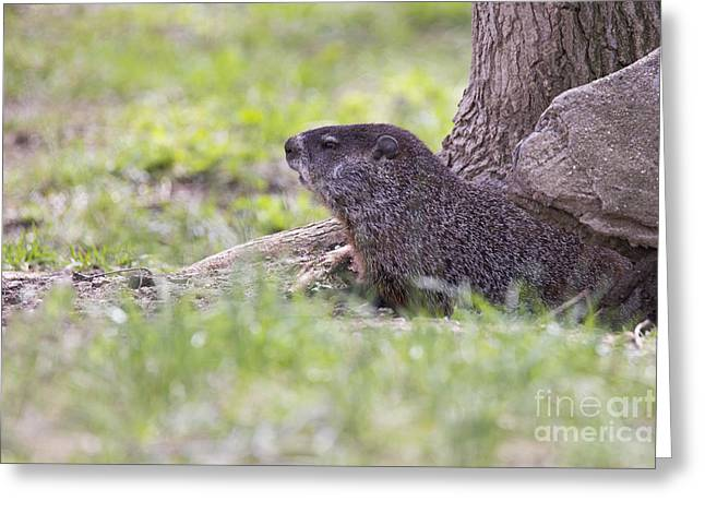 Groundhog Greeting Card by Twenty Two North Photography