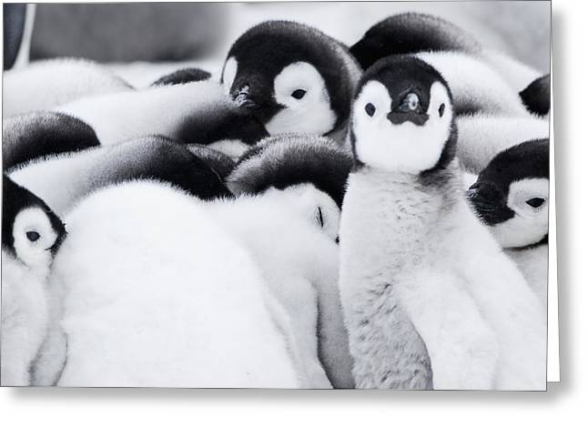 Group Of Emperor Penguin  Aptenodytes Greeting Card