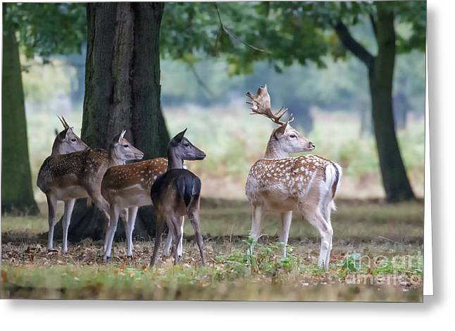 Group Of Four Fallow Deer - Dama Dama - Startled By Something On T Greeting Card