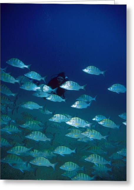 Group Of Grunt Fish Pass By Scuba Diver Greeting Card