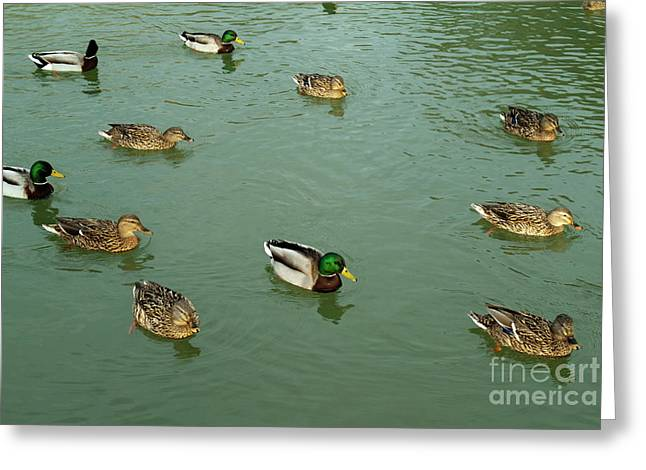 Group Of Male And Female Ducks On The Water Greeting Card by Sami Sarkis