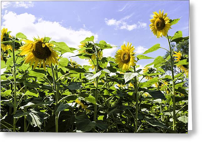 Group Of Sunflowers Greeting Card by Fran Gallogly