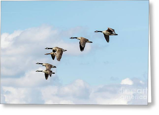 Group Or Gaggle Of Canada Geese - Branta Canadensis - Flying, In F Greeting Card