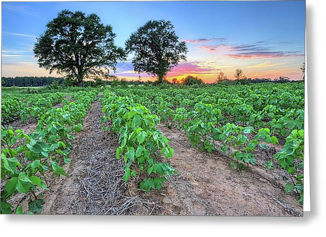 Growing Cotton Greeting Card by JC Findley
