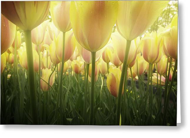 Growing  Tulips  Greeting Card by Anastasy Yarmolovich