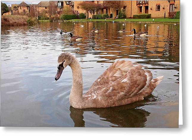 Growing Up On The River - Juvenile Mute Swan Greeting Card by Gill Billington