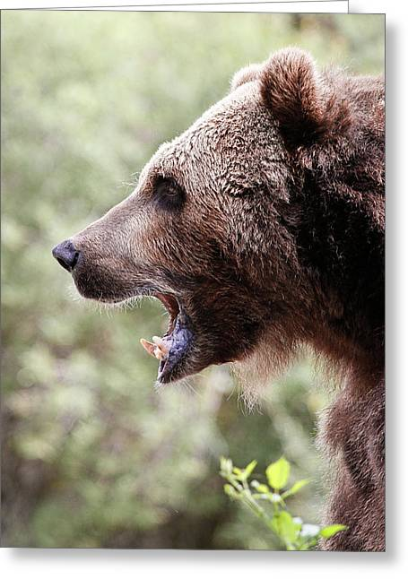 Growl Of The Grizzly Greeting Card by Athena Mckinzie
