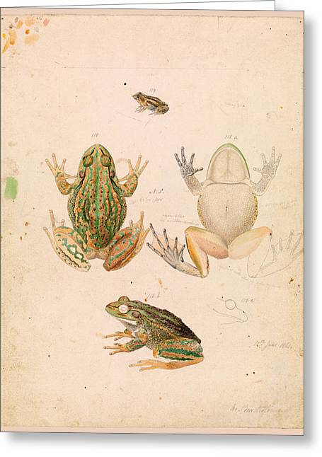 Growling Grass Frog. Litoria Raniformis Greeting Card by Arthur Bartholomew