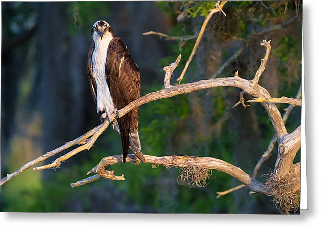 Grumpy Osprey Not Ready For Its Picture Greeting Card