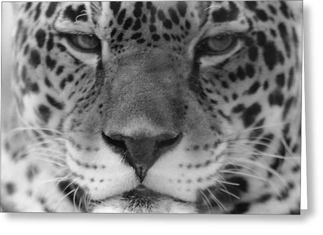 Grumpy Tiger  Greeting Card