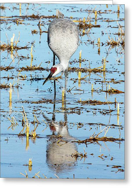 Grus Canadensis I Greeting Card