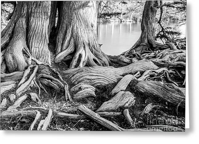 Guadalupe Bald Cypress In Black And White Greeting Card