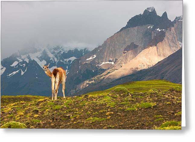 Guanaco - Patagonia Greeting Card by Carl Amoth