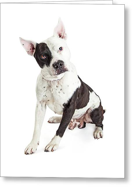 Guard Dog Pit Bull Over White Greeting Card by Susan Schmitz