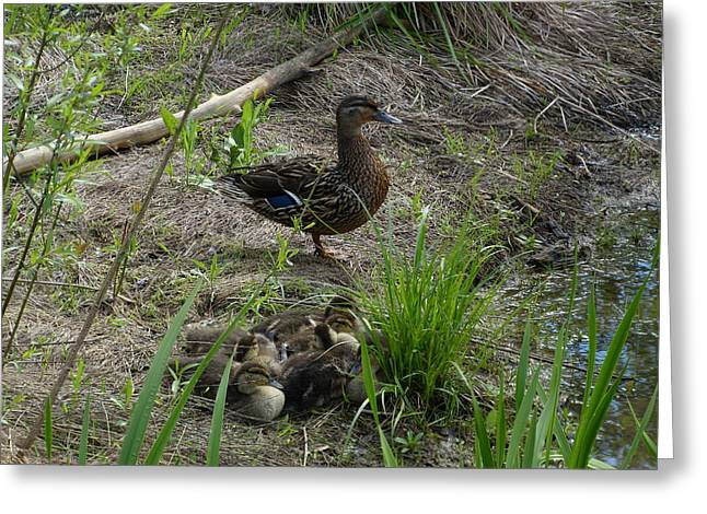 Guarding The Ducklings Greeting Card by Donald C Morgan