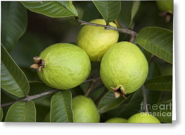 Guava Fruit Greeting Card by Inga Spence
