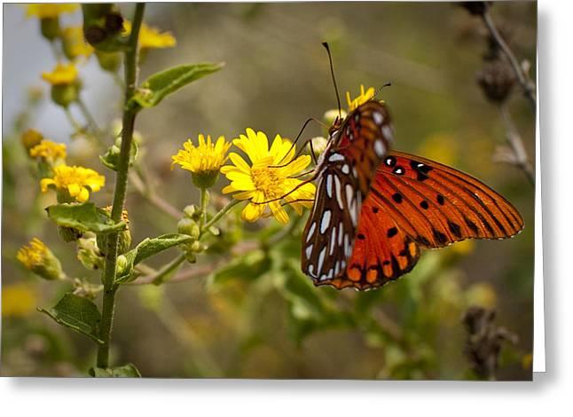 Gulf Fritillary Agraulis Vanillae Red Butterfly Greeting Card by Dustin K Ryan