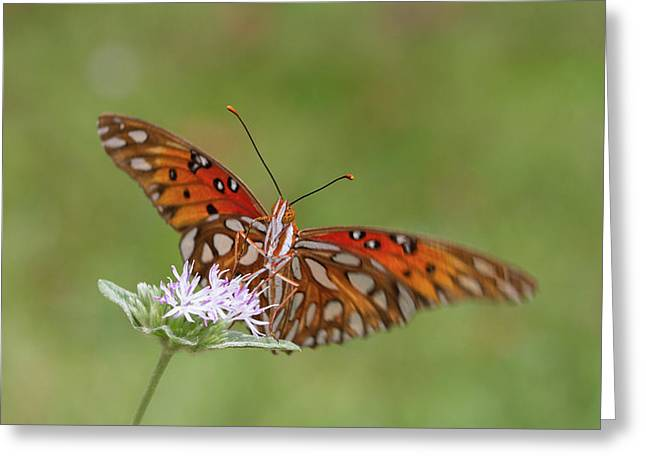 Gulf Fritillary On Elephantsfoot Greeting Card