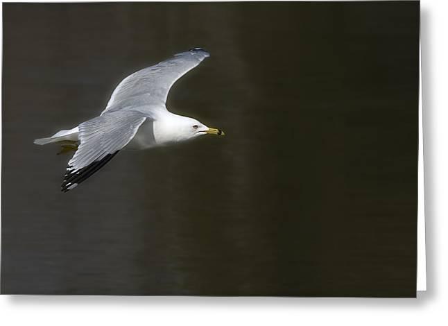 Gull - Goeland Greeting Card