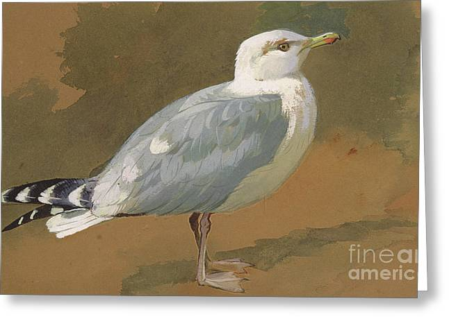 Gull Greeting Card by Archibald Thorburn