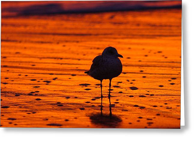 Gull Caught At Sunrise Greeting Card by Allan Levin