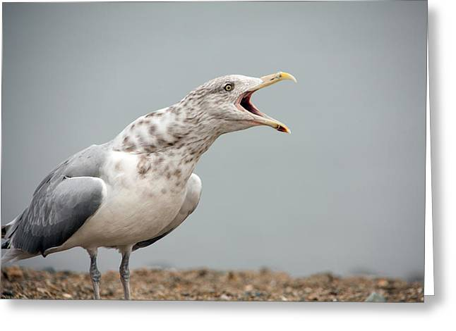Gull Singer Greeting Card by Karol Livote