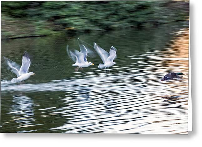 Gulls Chase Mallard Greeting Card by Kate Brown