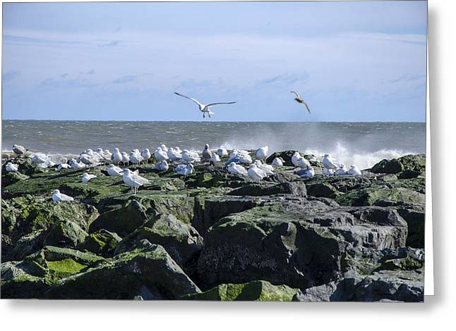 Gulls On Rock Jetty Greeting Card