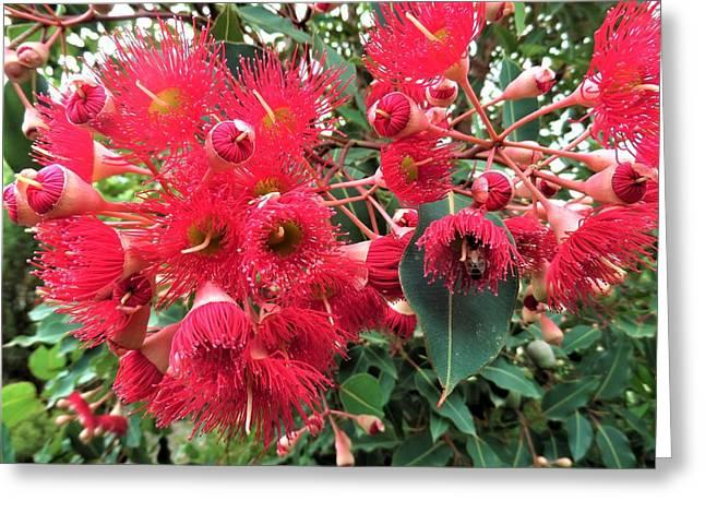 Gum Nut Tree Blossom Greeting Card