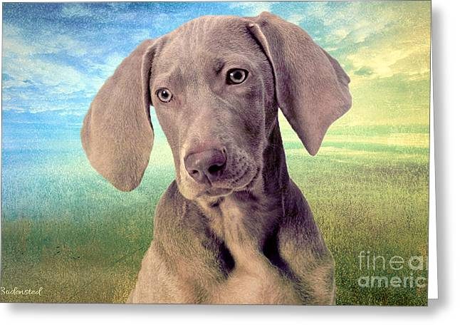 Gunshy Weimaraner Looking For Loving Home Greeting Card