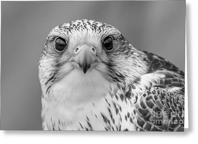 Gyr Falcon Portrait In Black And White Greeting Card