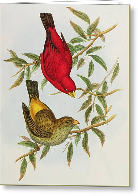 Haematospiza Sipahi Greeting Card by John Gould
