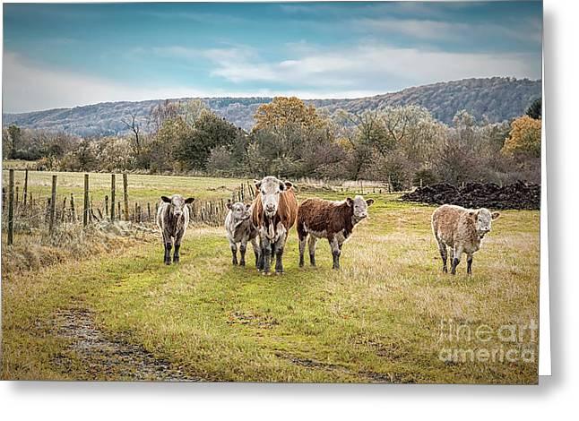 Hairy Herd Of Catttle Greeting Card