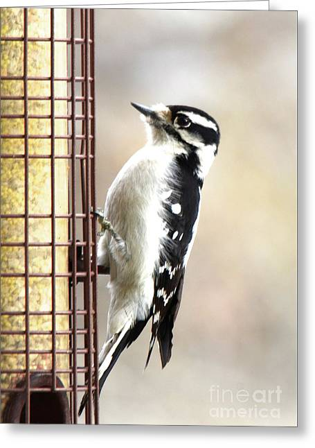 Hairy Woodpecker Greeting Card