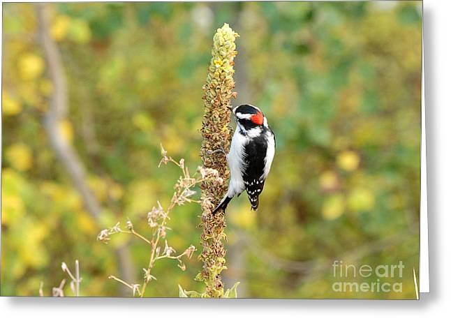 Hairy Woodpecker Greeting Card by Dennis Hammer