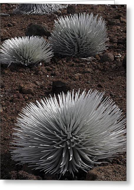 Haleakala Silverswords Greeting Card