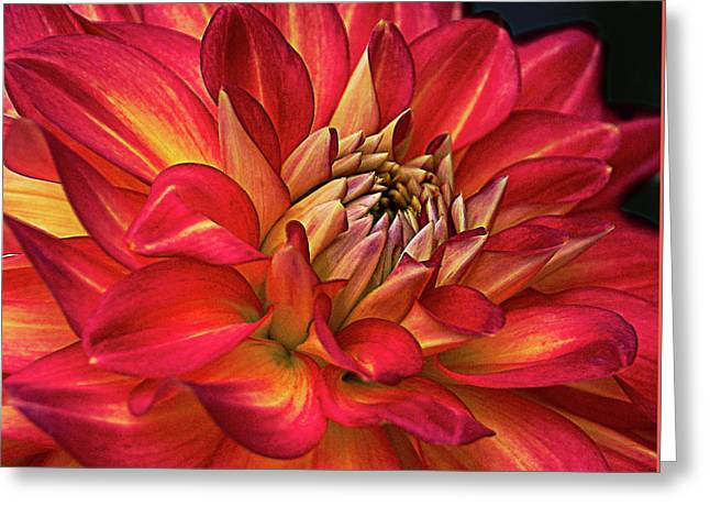 Half Pint Red Dahlia Greeting Card by Julie Palencia